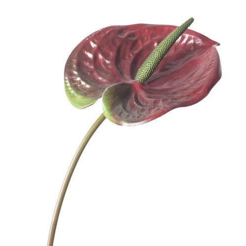 Fiore Anturium rosso 70h