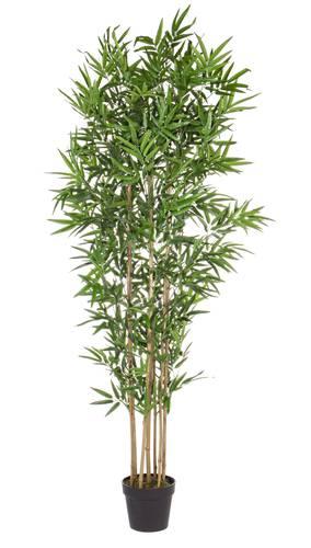 Pianta bamboo in vaso 185h